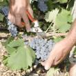 Grape picker hands — Stock Photo