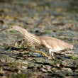 Yelow heron catch fish in the old bed of the Tisza - Stock Photo