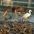 Black Stork catch fish in the old bed of the Tisza - Stock Photo