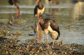 Black Stork catch fish in the old bed of the Tisza — Stock Photo