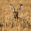 European wild rabbit - Stock Photo