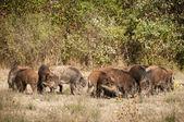 Wild boar family — Stock Photo