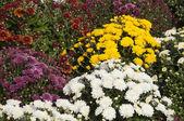 Herfst bloemen — Stockfoto