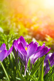 Elegant Crocus — Stock Photo