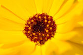 Calendula flower — Photo