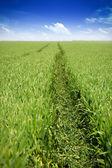 Green wheat field — Stock Photo