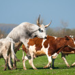 Cattle on pasture - Stock Photo