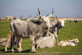 крупного рогатого скота на пастбище — Стоковое фото