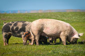 Little pigs eat the grass — Stock Photo