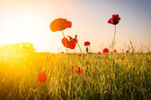 Field of Corn Poppy Flowers — Stockfoto