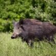 Wild boar — Stock Photo #26076023