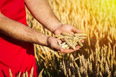 Wheat and hands — Stock Photo