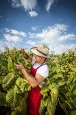 γεωργός καπνού — Φωτογραφία Αρχείου