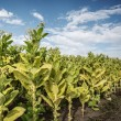 Tobacco field — Stock Photo #31086219