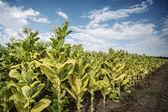 Campo de tabaco — Foto de Stock