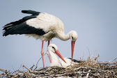 White stork and chicks in the nest — Stock Photo
