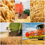 Combine harvesting wheat — Stock Photo