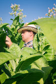 Farmer looks tobacco in the field — Stock Photo