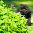 Toy poodle puppy and butterfly. — Stock Photo