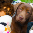 Sad lab puppy with toys. — Stock Photo