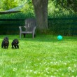 Toy poodle and miniature poodle chasing ball. - Stock Photo