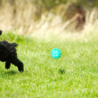Toy poodle puppy chasing ball. - Stock Photo