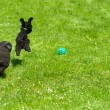 Постер, плакат: Toy poodle and miniature poodle chasing ball