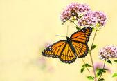 Monarch butterfly on oregano flower. — Stock Photo