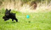 Toy poodle puppy chasing ball. — Stock Photo
