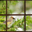 Stock Photo: Cedar waxwing in Spring, seen through window.