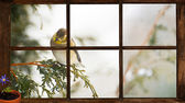 Goldfinch seen through window, longing for Spring. — Stock Photo