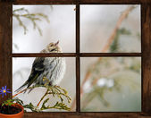 Pine siskin bird, seen through a window, longing for Spring. — Stock Photo
