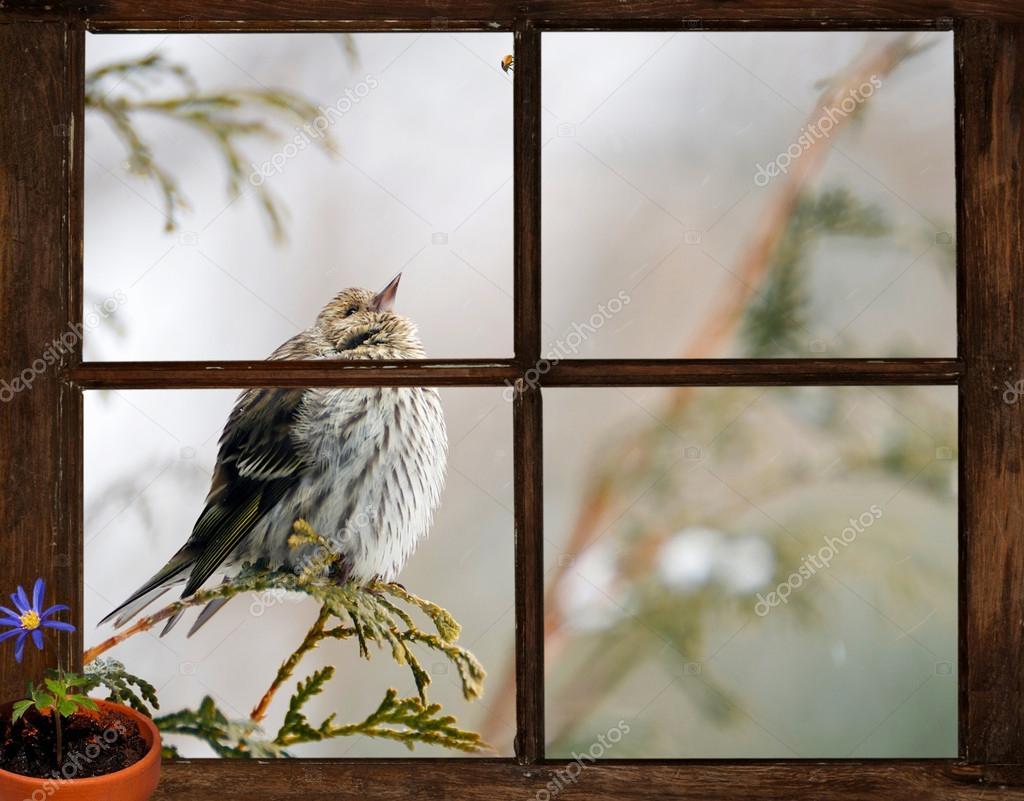 Pine grönsiska fågel, sett genom ett fönster, längtan efter våren ...