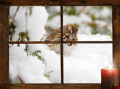 Curious sparrow in winter, seen through a tiny farmhouse window. — Stock Photo