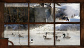 Winter pond with ducks seen through the cottage window. — Stock Photo