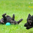 Постер, плакат: Cute pups playing