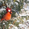 Christmas cardinal. — Stock Photo