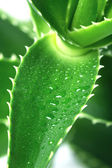 Aloe macro — Stock Photo