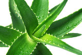 Flower Aloe Vera — Stock Photo