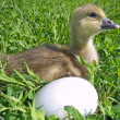 The small goose with egg on a green grass — Stock Photo
