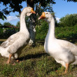 Two geese on a farm — Stock Photo