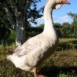 Goose on farm closeup — Stock Photo #17176619