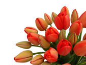 Bouquet of red tulips on a white background — Stock Photo