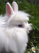White Angora rabbit — Stock Photo