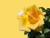 Yellow rose on a yellow background — Stock Photo