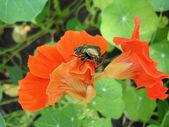 Bug of Cetonia aurata on flowers of a nasturtium, macro. — Stock Photo