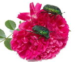 Two bugs of Cetonia aurata on a rose. — Stock Photo