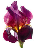 Barbu iris violet sur fond blanc, macro. — Photo