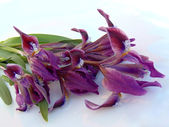 Bouquet of dwarfish irises. — Stock Photo