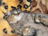 Gato gris mullido de vacaciones — Foto de Stock